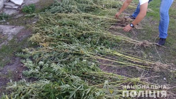 Под Бердянском обнаружили огромную плантацию конопли