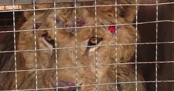 В Васильевском зоопарке скончался один из львов привезенных из Покровска