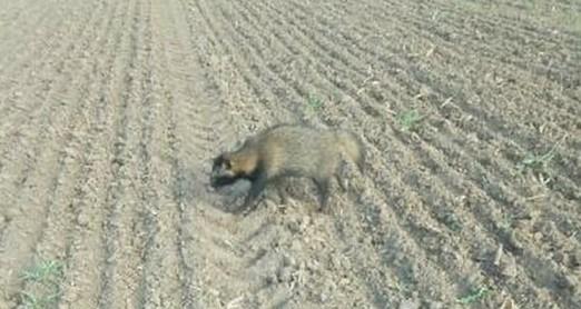 В полях под Степногорском был замечен енот, – ФОТО